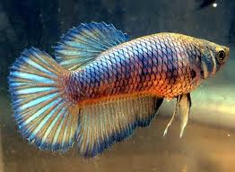 Super Delta Fighting Fish L - female